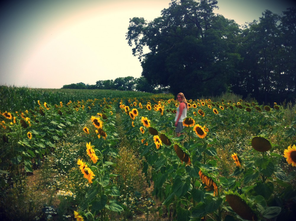 Ein Sonnenblumenfeld in der Uckermark